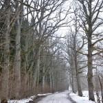 Vērenes ozolu aleja ziemā.